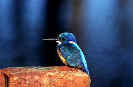 Zulu kingfisher